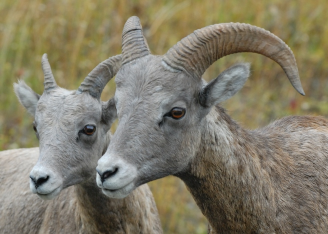 big-horn-sheep-banff