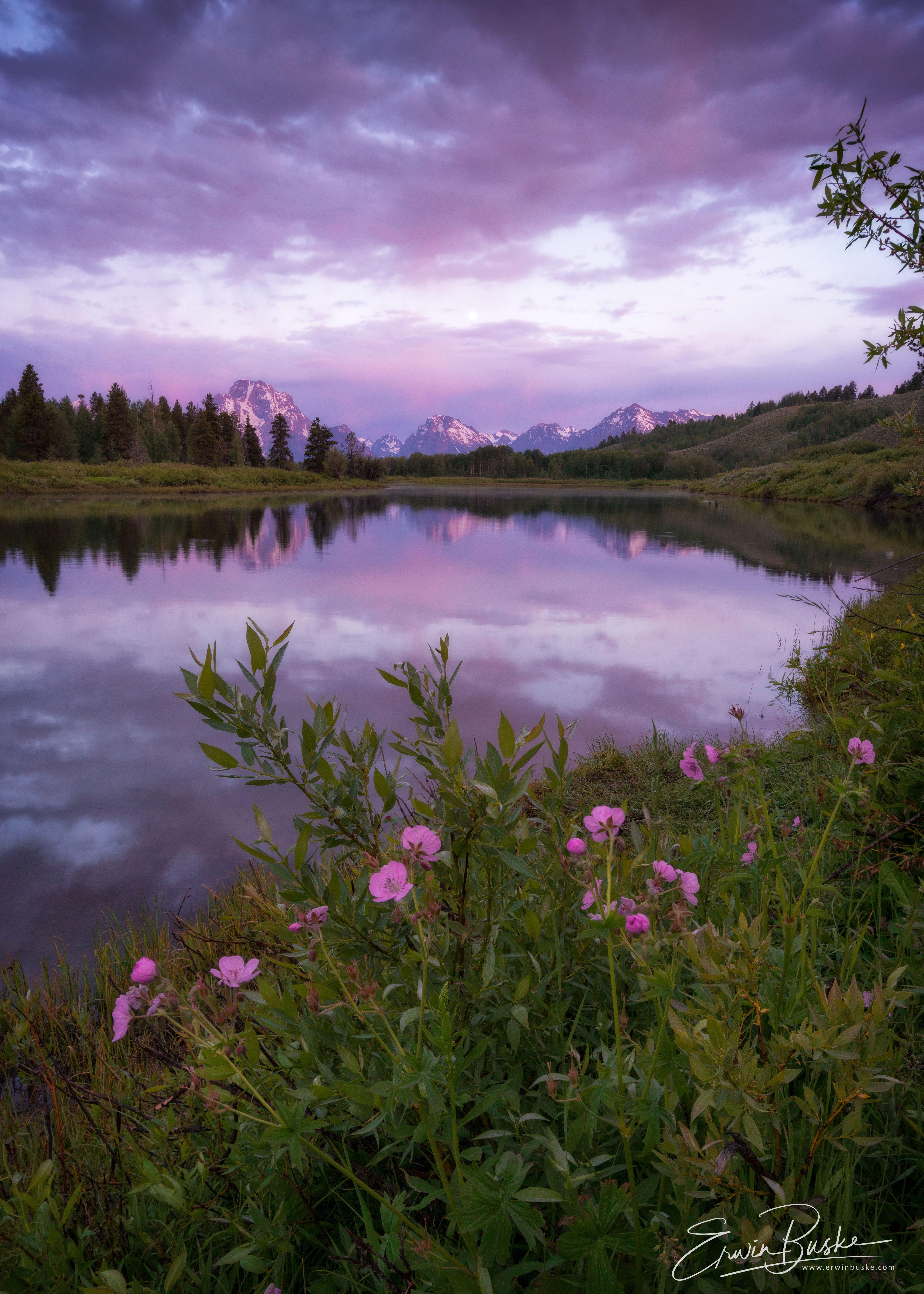 Wild Geranium Tetons Sunrise