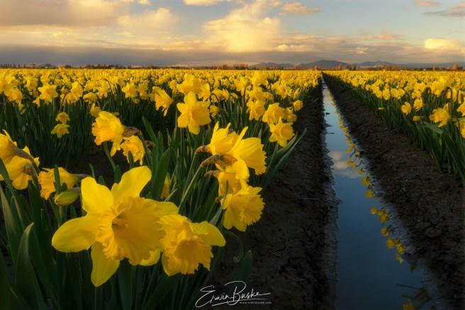 Skagit Mid March Daffodils 053 copy